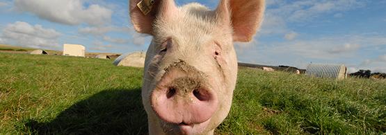 Elevage porcin chambre d 39 agriculture du nord pas de calais - Chambre d agriculture pas de calais ...